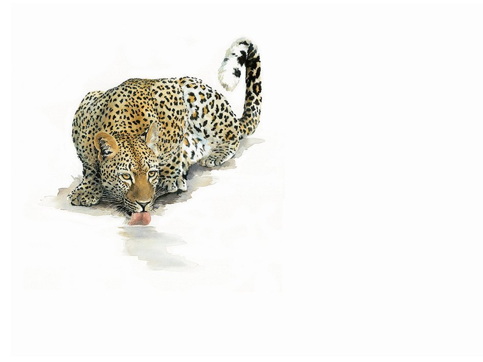 Art Print of a leopard drinking