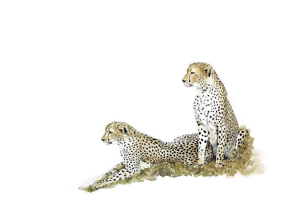art print of two cheetahs