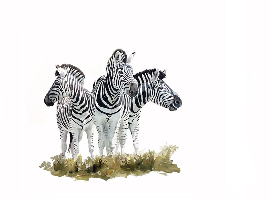 Fine art print of zebras