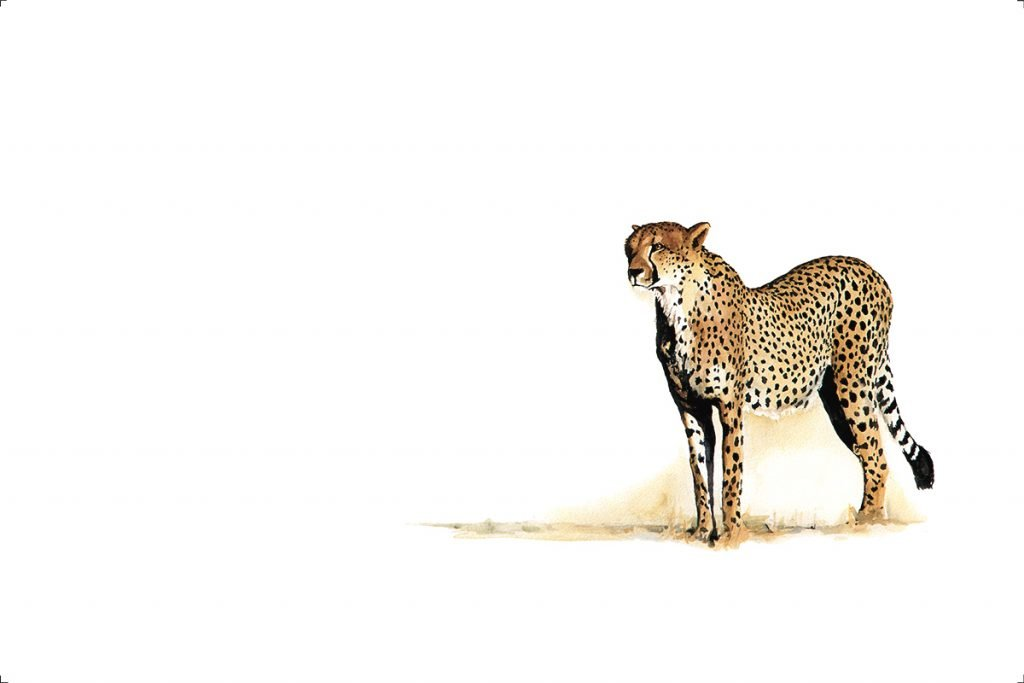 fine-art-print-cheetah