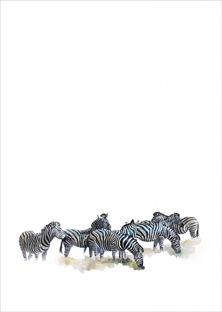Wildlife art print of grazing zebras