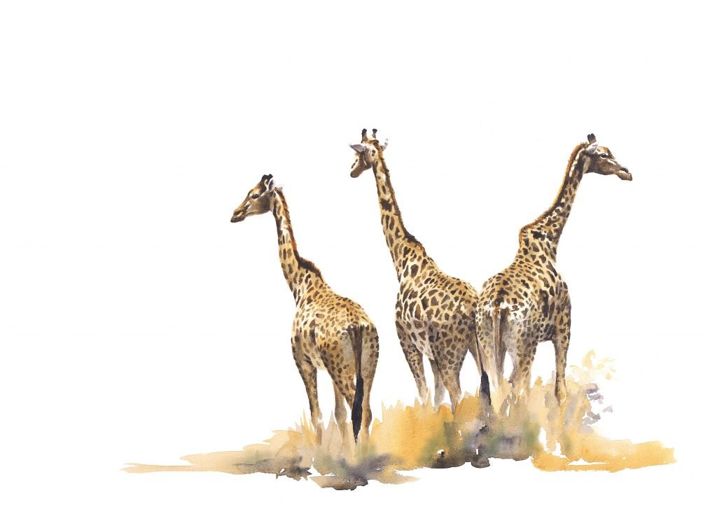 Fine art print of giraffes